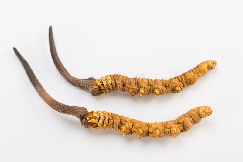 Yarsagumba Cordyceps sinesis Yartsa Gunbu himalayan gold Nepal in white background. Yarsagumba Ingredient used in Traditional Chinese Medicine Yartsa Gunbu on stock photo