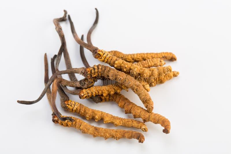 Yarsagumba Cordyceps sinesis Yartsa Gunbu himalayan gold Nepal in white background. Yarsagumba Ingredient used in Traditional Chinese Medicine Yartsa Gunbu on royalty free stock photos