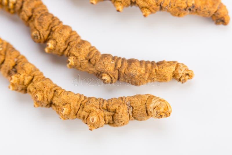Yarsagumba Cordyceps sinesis Yartsa Gunbu himalayan gold Nepal in white backgrounMacro d. Yarsagumba Ingredient used in Traditional Chinese Medicine Yartsa Gunbu royalty free stock images