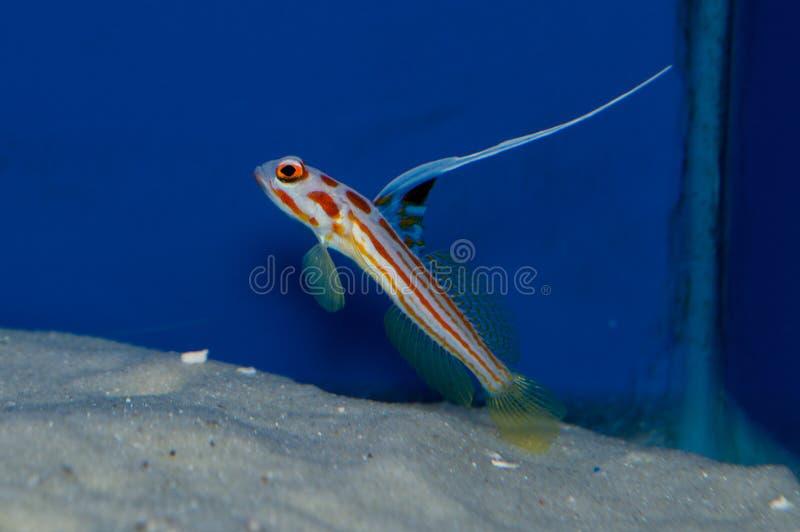 Yasha White Ray Shrimp Goby royalty-vrije stock afbeelding