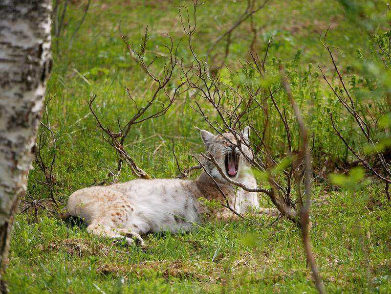 Yawing lynx in the wilderness forest in the north stock photography