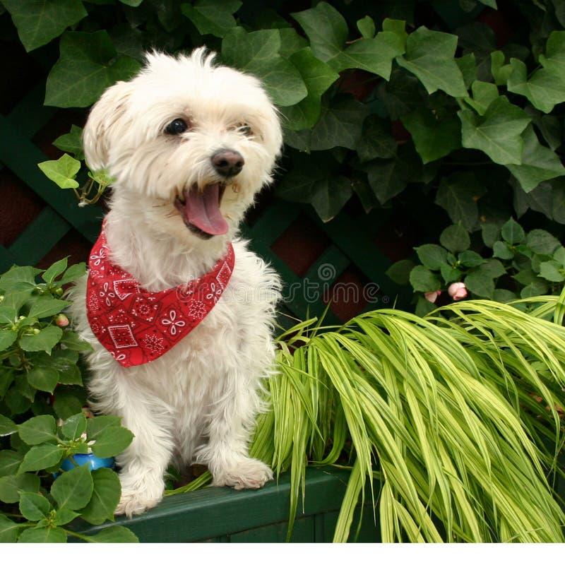 Download Yawn stock image. Image of maltese, garden, yawn, white - 159847