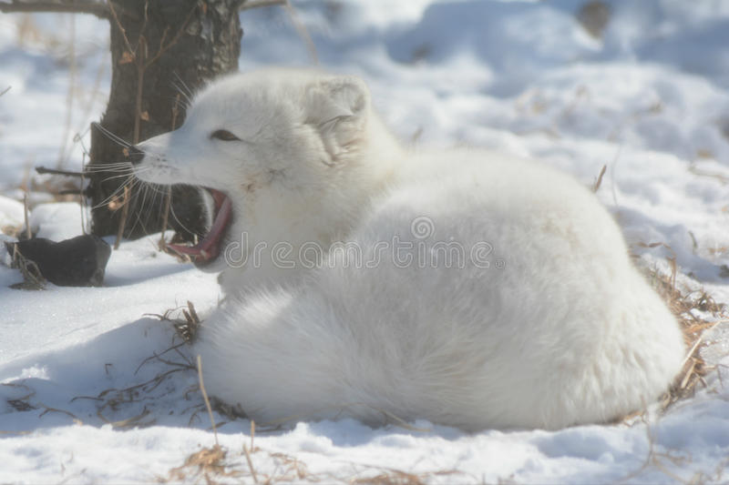 Yawning Arctic Fox In A Snow Blanketed Field royalty free stock photography