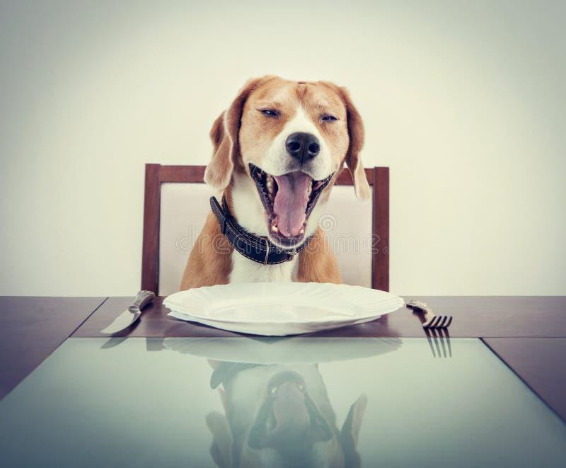 Yawning beagle dog tired to wait for the waiter stock image