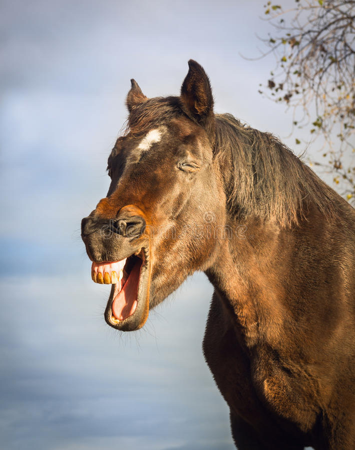 Yawning brown horse on sky background stock photos