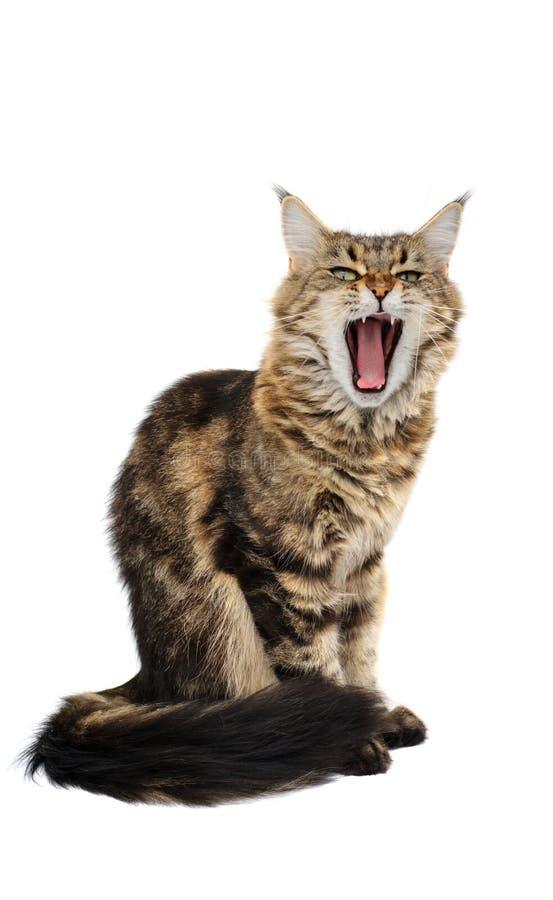 Download Yawning cat stock image. Image of animal, feline, whisker - 20081039
