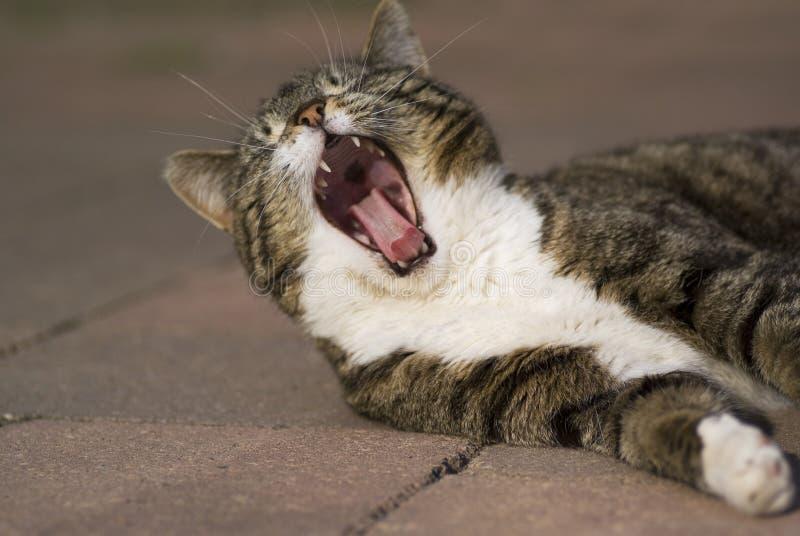 Yawning cat. royalty free stock images