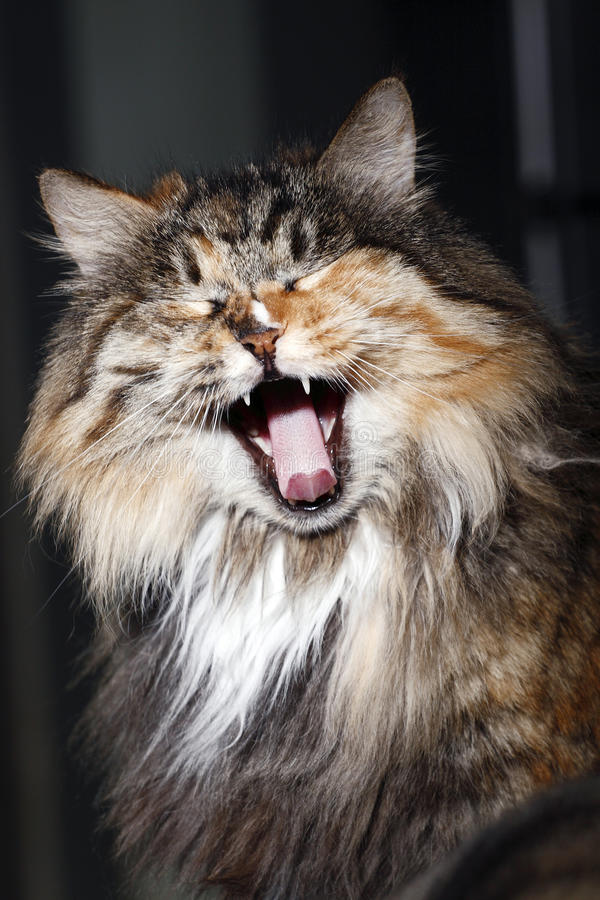 Yawning cat's portrait royalty free stock image