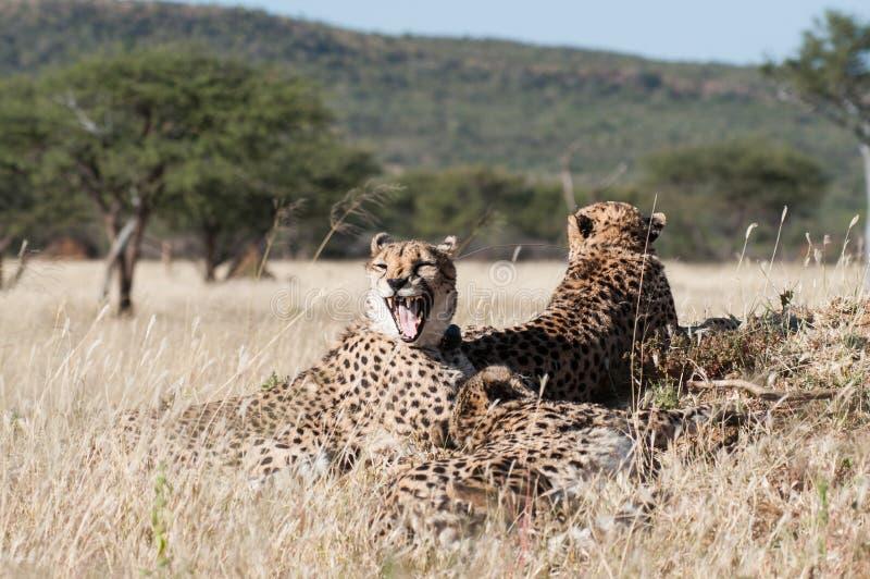 Yawning Cheetah stock photography