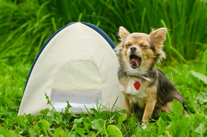 Yawning chihuahua dog sitting near camping tent royalty free stock photo