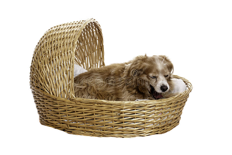 Download Yawning Cockapoo stock photo. Image of wicker, spaniel - 13132716