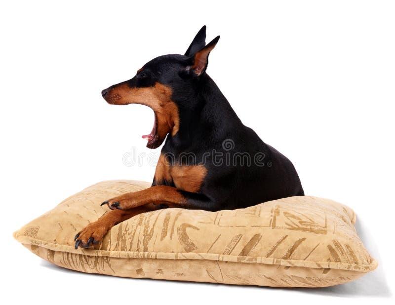 Yawning dog royalty free stock images