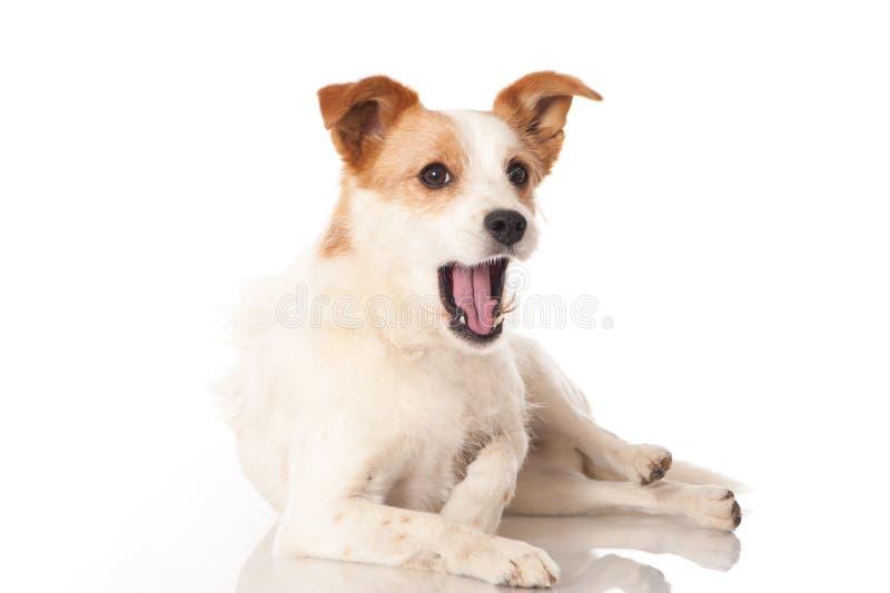 Yawning dog stock photography