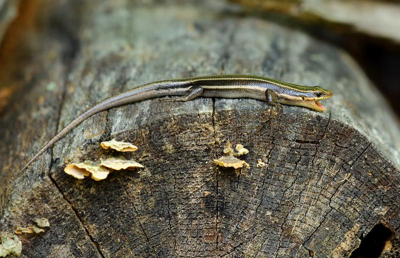 Yawning five-lined skink. A five-lined skink laying on a log with mouth agape royalty free stock photo
