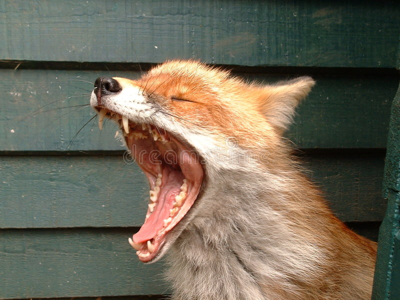 Download Yawning Fox stock photo. Image of yawn, hunting, stretch - 170436
