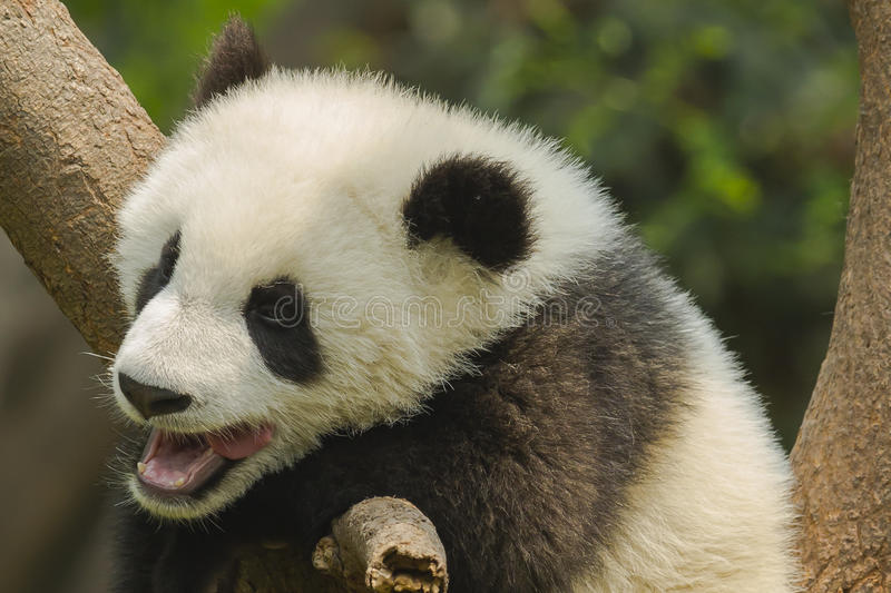 Yawning Giant Panda Cub with Missing Teeth. Hanging in a tree, a giant panda bear cub yawns, revealing its age by its missing teeth stock photo