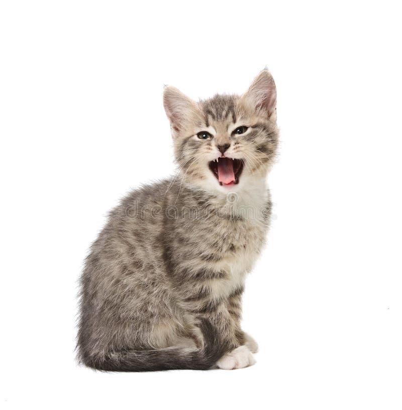 Download Yawning kitten stock photo. Image of teeth, sitting, whisker - 17333450