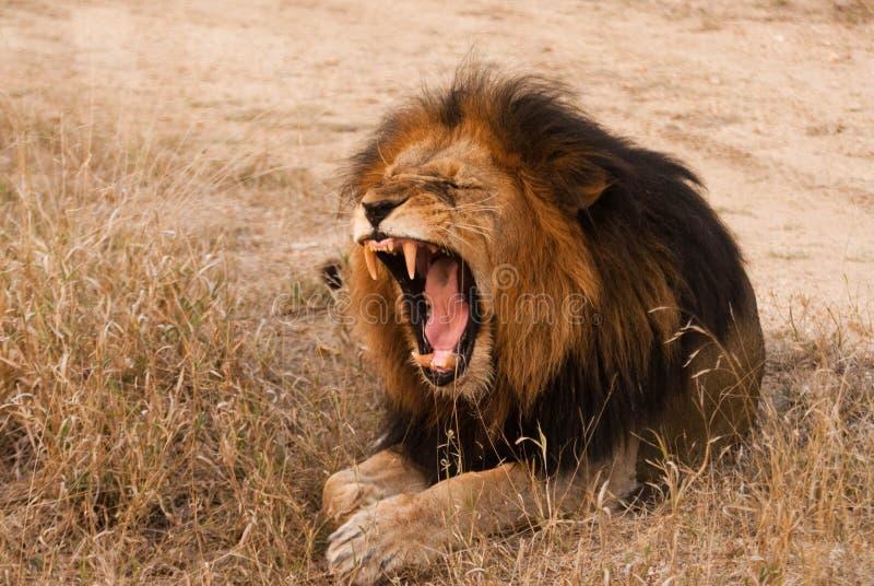 Yawning lion stock image