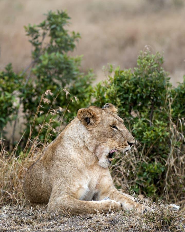 Yawning Lioness royalty free stock image