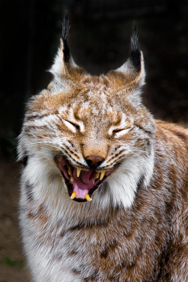 Yawning Lynx. Detail of a relaxed and yawning lynx stock photography