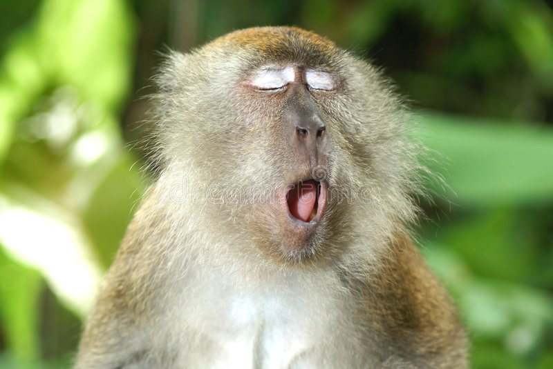 Yawning monkey. A long tailed macaque yawning out loud in the jungle. Eyes shut and furry stock photography