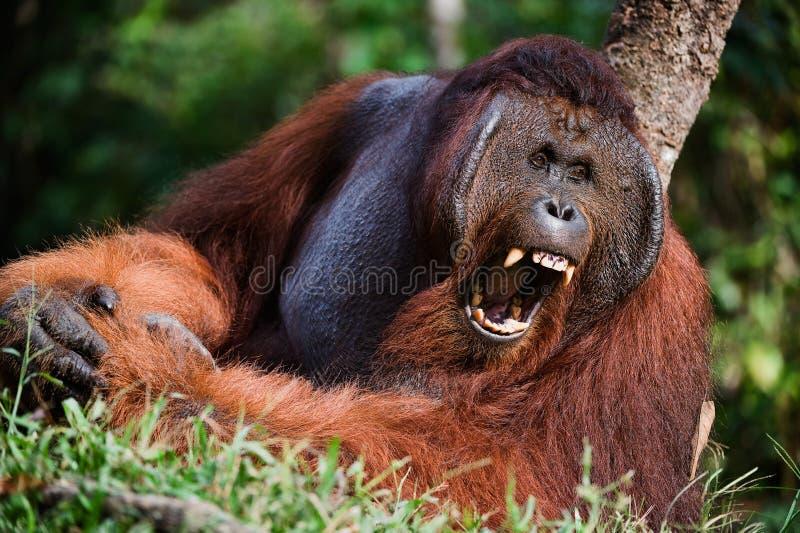 Yawning Orangutan royalty free stock photo