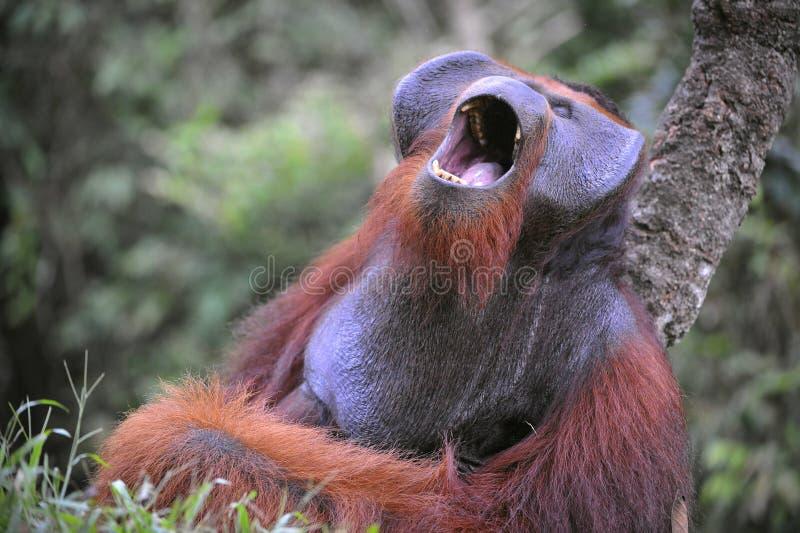 Yawning Orangutan. stock photo