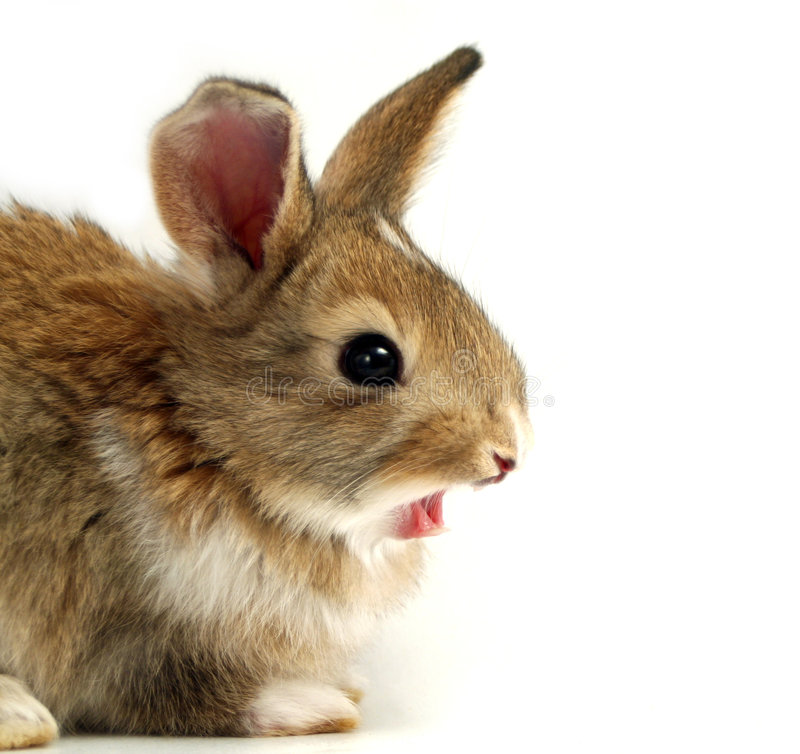 Yawning Rabbit. A funny rabbit with open mouth stock photography