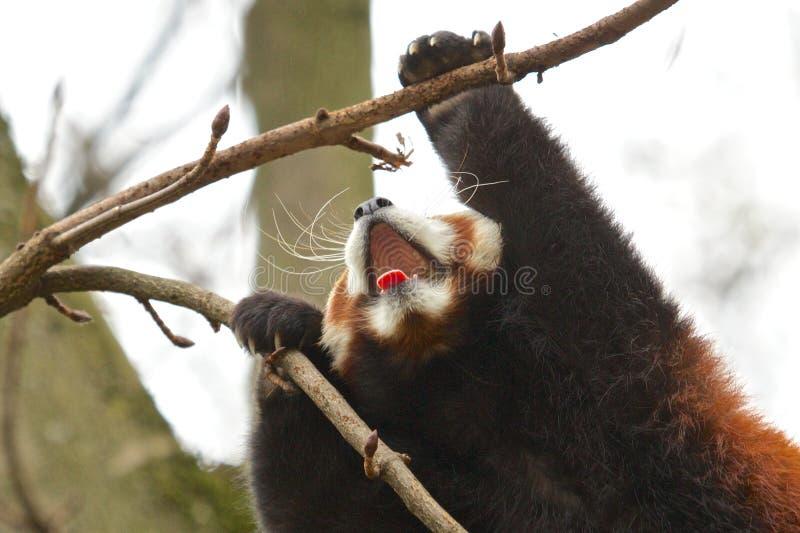 Yawning Red Panda. Red Panda stretching and yawning royalty free stock images