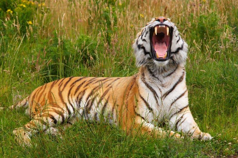 Yawning Siberian tiger stock image