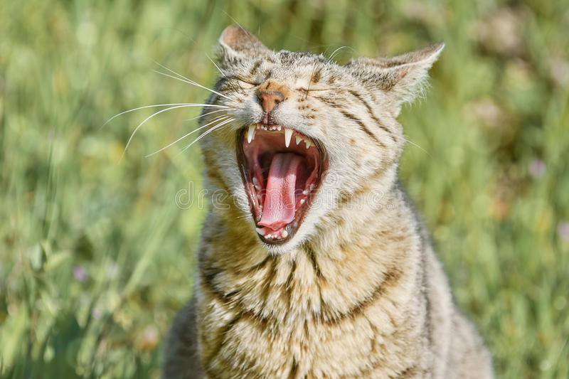 Yawning Stray Cat. On the Green Grass stock images