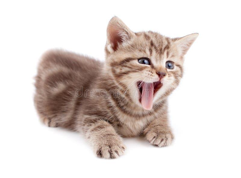 Yawning striped Scottish kitten lying