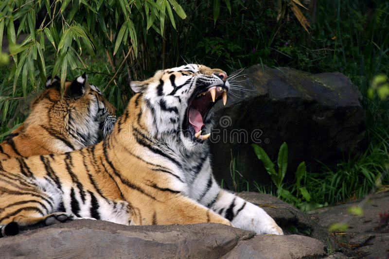 Download Yawning tiger stock image. Image of teeth, stripe, striped - 1503123