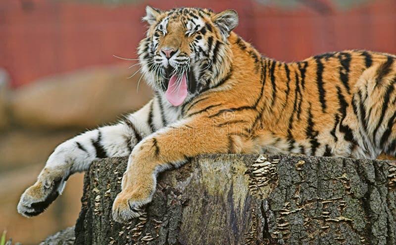 Yawning Tiger royalty free stock photo