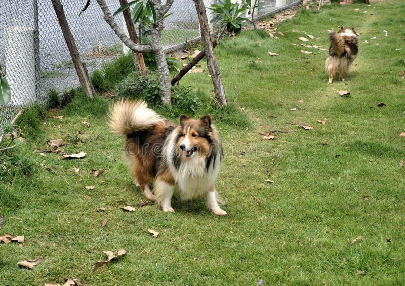 Życzliwego szczęśliwego Collie psi bawić się na zielonym gazonie fotografia stock