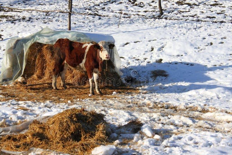 Download Łydka obraz stock. Obraz złożonej z trawy, zwierzę, świeży - 28508559