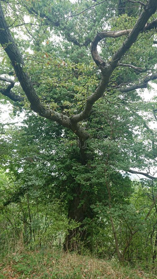 300 year old oak tree stock images