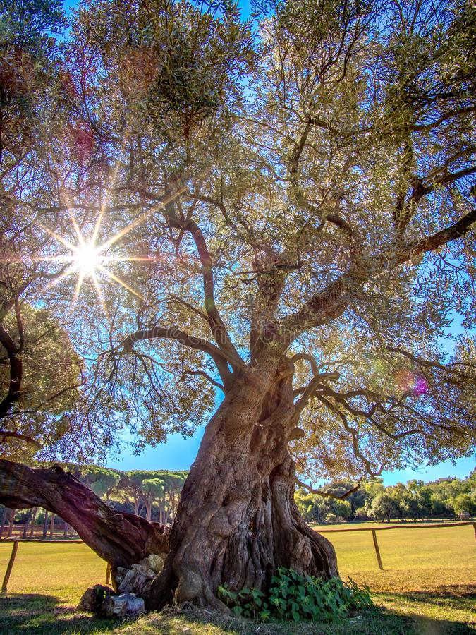 1600 year old olive tree on the beautiful Brijuni. The sun goes through the branches stock photos