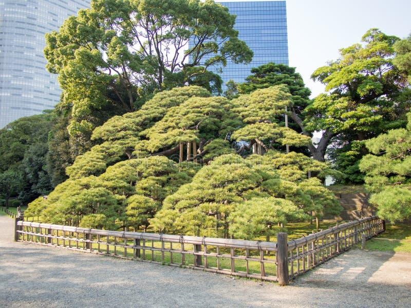 300 Year Old Pine Tree at Hama Rikyu Garden, Tokyo, Japan. Hama Rikyu 浜離宮, Hama Rikyū, is a large, attractive landscape garden in central stock photos