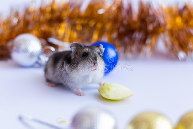 Christmas card 2020. New Year calendar 2020, New Year 2020 - year of the rat. Year of the Rat 2020, Christmas rat on the background of New Year`s blue decoration stock image