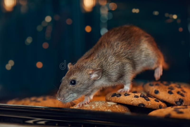 2020 year of the rat royalty free stock photos
