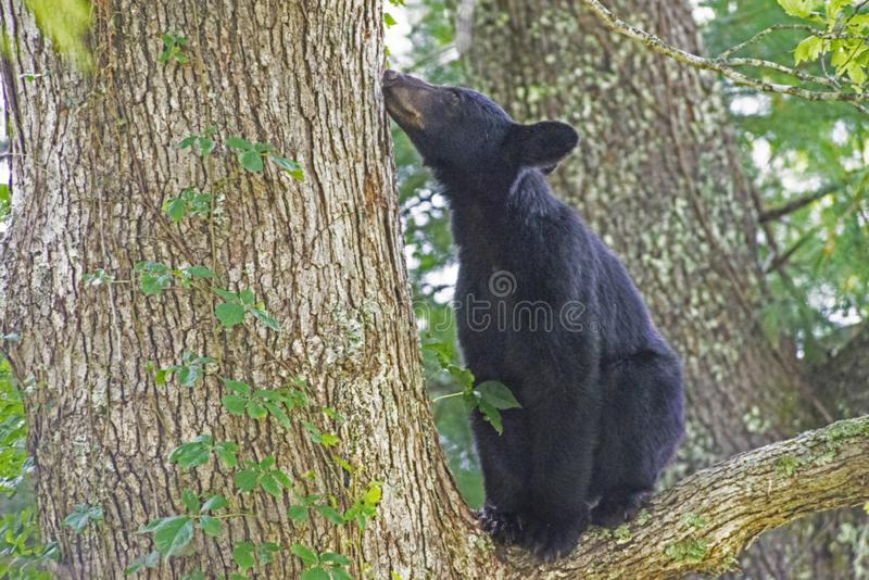 A Yearling Black Bear stands in a tree waiting for mom to feed. A yearling Black Bear waits on mom to feed royalty free stock photo