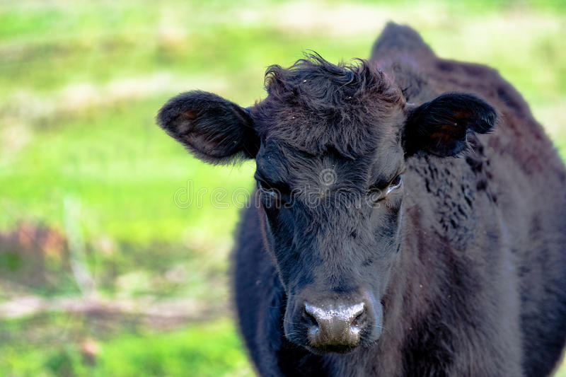 Yearling heifer in spring. Yearling heifer Angus crossbred with rough winter coat with early spring background blurred royalty free stock image
