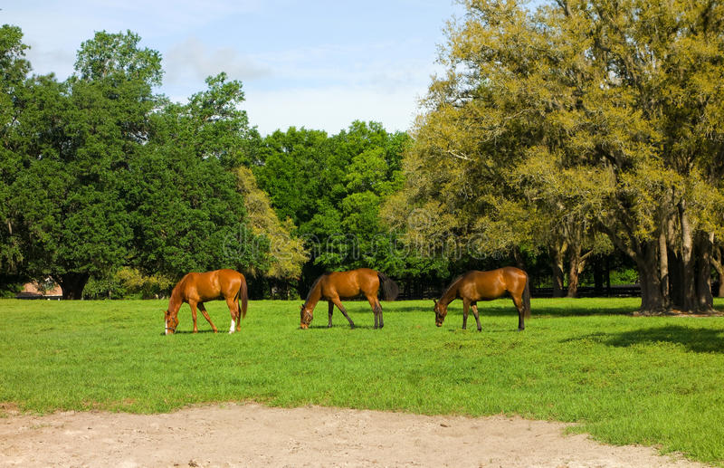Yearlings grazing at a horse farm in florida stock image