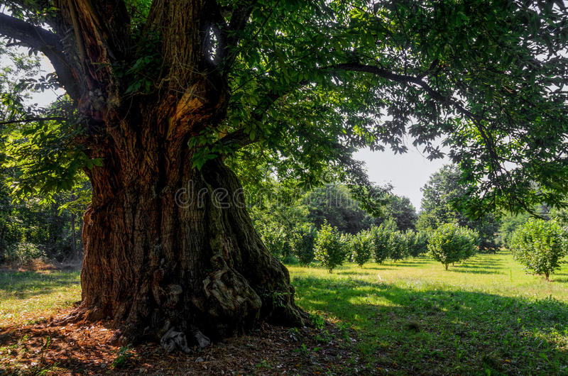 400 years old chestnut tree. 400 years old monumental chestnut tree in Roero, Italy royalty free stock photos