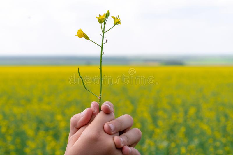 9 years old girl holding a yellow flower in the field. Yellow flowers. Concept of summer and happy childhood royalty free stock photography