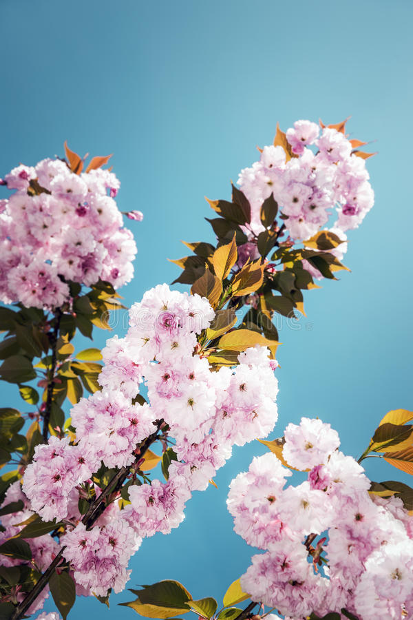 Download Yedoensis del Prunus immagine stock. Immagine di orticoltura - 30827151