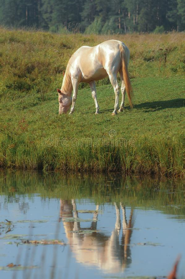 Yegua brillante del akhal-teke del perlino que pasta en el campo con el reflejo en el agua fotos de archivo