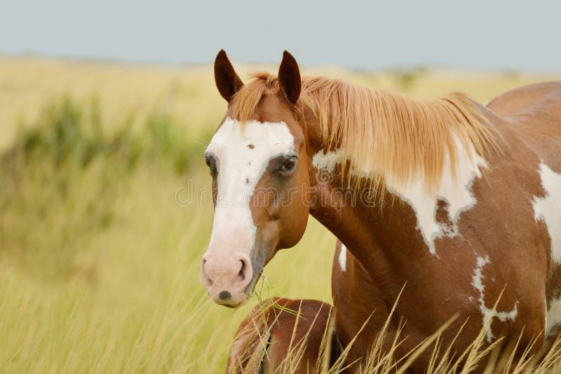 Yegua cuarta del caballo del Pinto fotografía de archivo libre de regalías