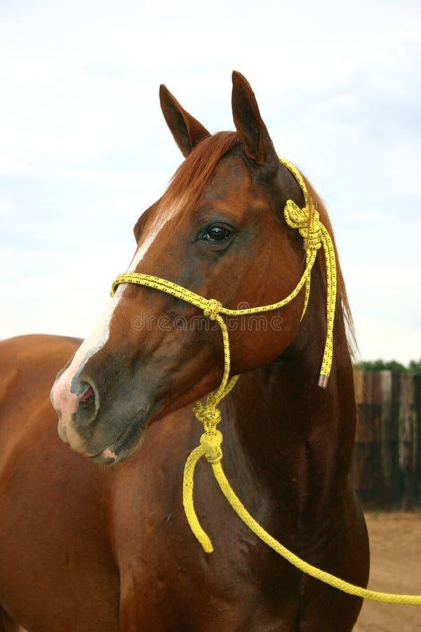 Yegua del caballo cuarto imagen de archivo libre de regalías